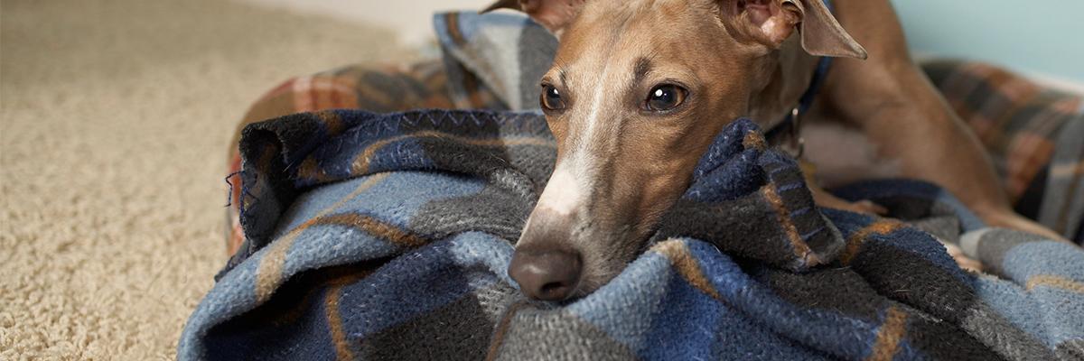 Anesthesia-Greyhound